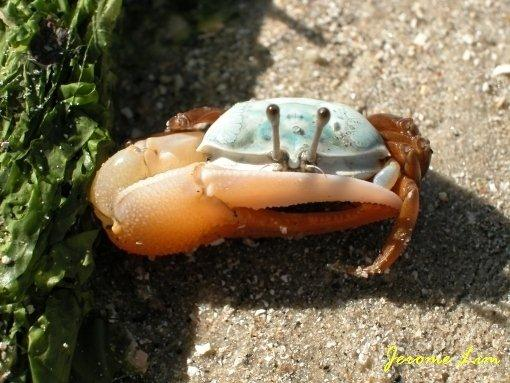 The shallow waters during low tide off Changi Beach provided hours of endless fun with the creatures that lived amongst the sea grass. A fiddler crab is seen here.
