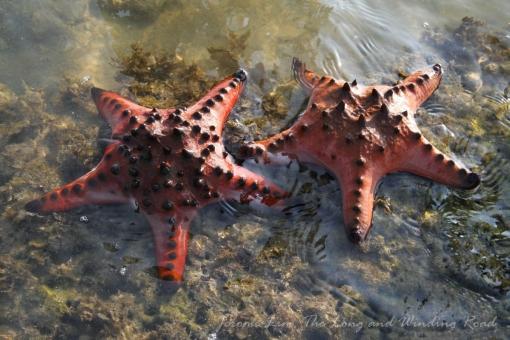 Knobbly sea stars.
