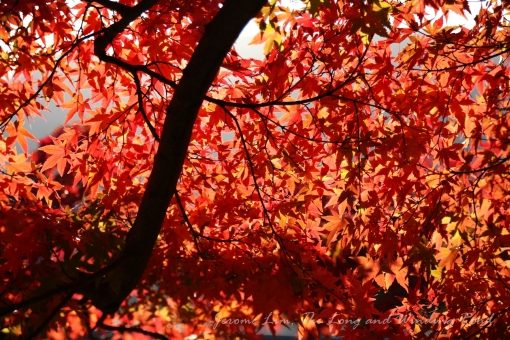 November's a busy time in and around Kyoto when many from far and wide flock to the former imperial capital just to catch koyo - the autumn leaves.