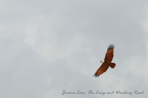 A Brahminy Kite flies over the formaer railway station.
