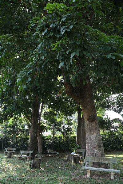 The cluster of rubber trees - the largest has been designated a heritage tree.