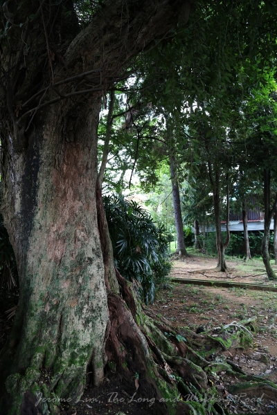 The heritage lychee tree.