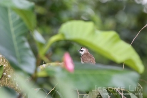 A yellow-vented bulbul in a Simpoh Air bush along the banks of the river.
