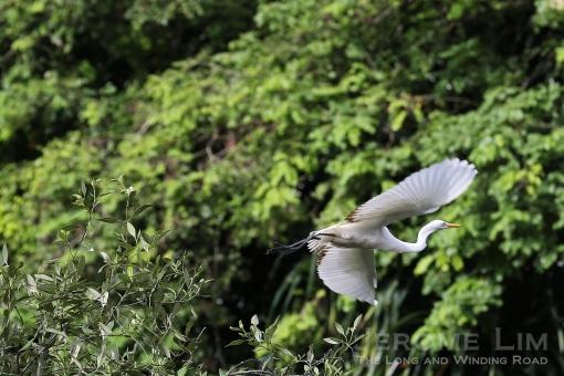 An intermediate egret in flight.