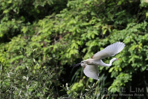 An intermediate egret in flight.