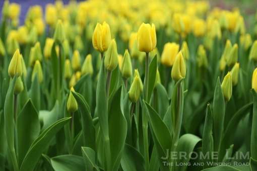 Yellow tulips in the Flower Field are already in bloom.