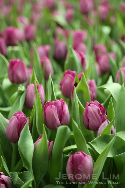 Purple tulips in bloom.