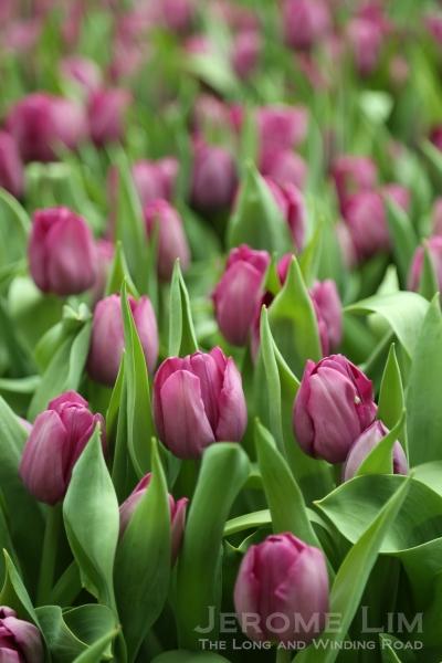 Purple tulips in bloom.