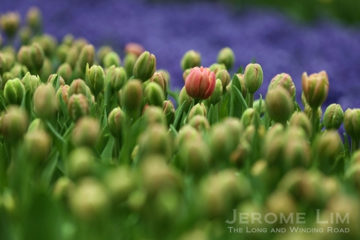 Some of the other coloured tulips such as the pink ones are expected to bloom from Monday.