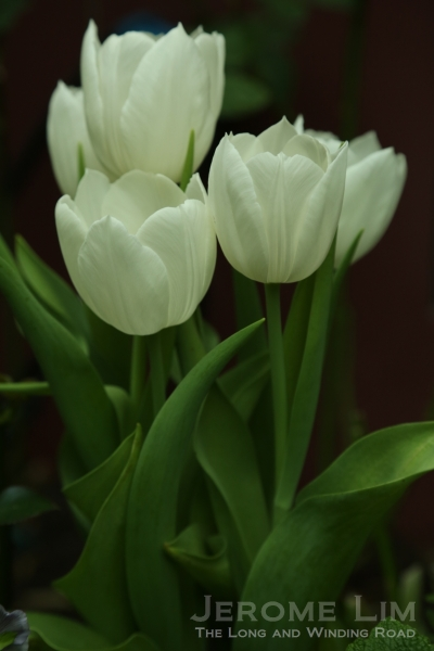 White tulips in the Flower Dome.