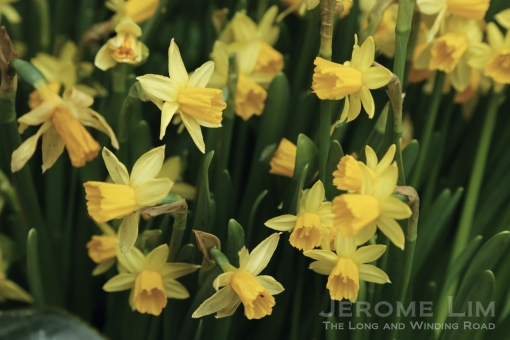 Other spring blooms include daffodils.