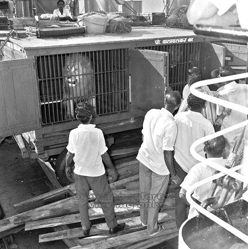 A lion seen in a Royal Circus of India caravan cage in 1968. The circus was based at the plot of land in Toa Payoh in 1970 and brought with it the opportunity to see the animals up close.