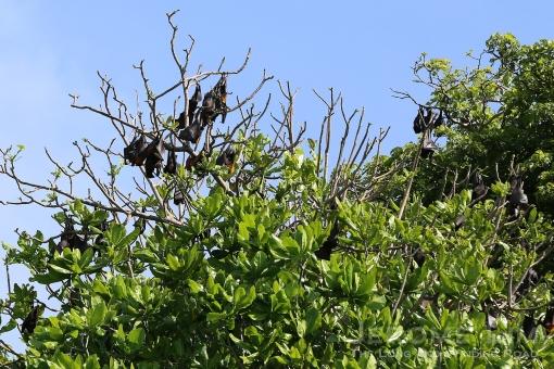 Bats seen perched on trees along the eastern coast of Boracay.