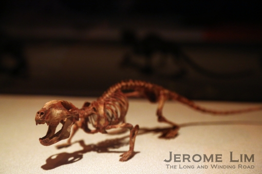 Very small dinosaurs such as this model of the skeleton of a foot long Chaliminia can also be seen.