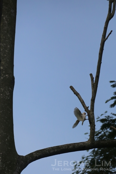 A non-native cockatoo - the area now plays host to nesting cockatoos.