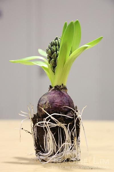 A hyacinth bulb.