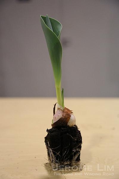 A tulip bulb.