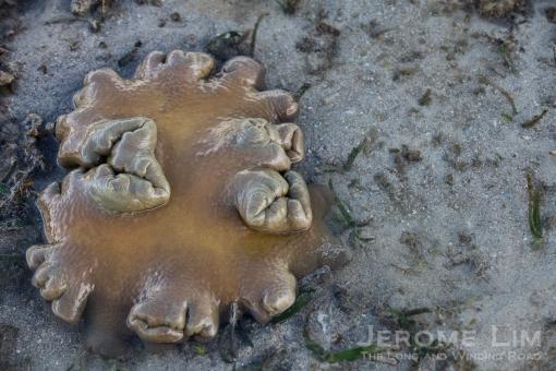 JeromeLim-2961 Terumbu Pempang Laut 20140601