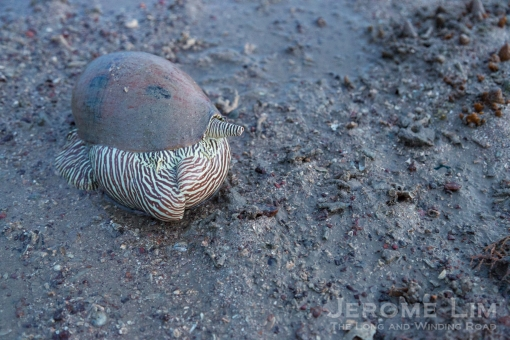 A Bailer Snail making a meal of another snail.