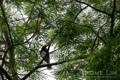 A Oriental Pied Hornbill seen (and heard) during Saturday's walk.