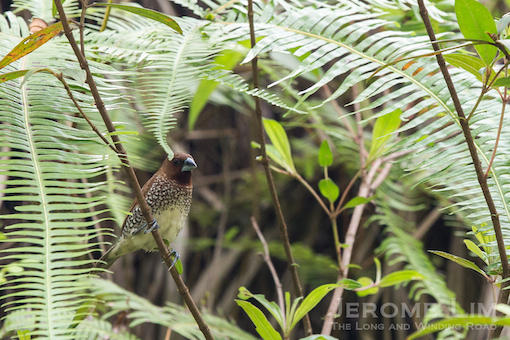 A Scaly-breasted Munia seen along the corridor  on Saturday. Hopefully disruption to the rail corridor's amazing wildlife will also be kept to a minimum.