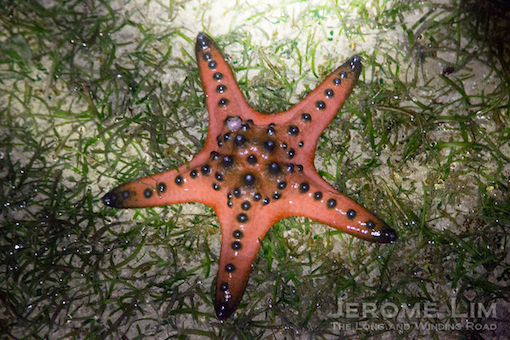 The star of our fast disappearing seagrass meadows.