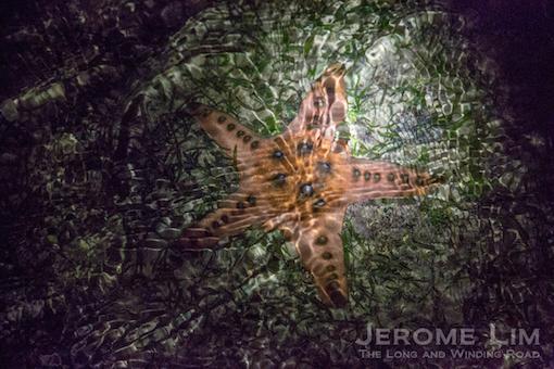 More Knobby Sea Stars at Cyrene.