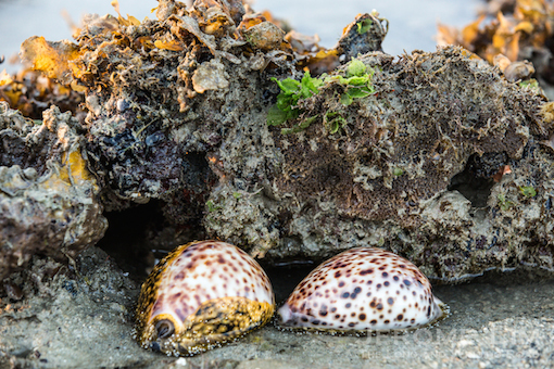 A pair of rare tiger cowries, discreet in their romance.