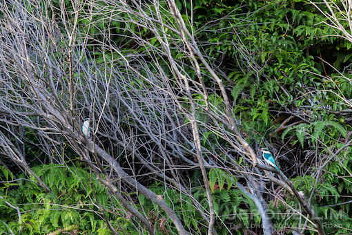 A pair of collared kingfishers.