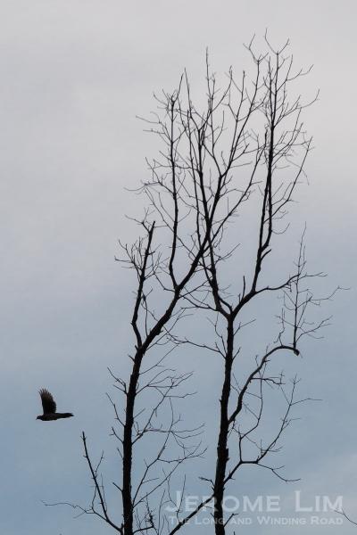 A tekukur in flight.
