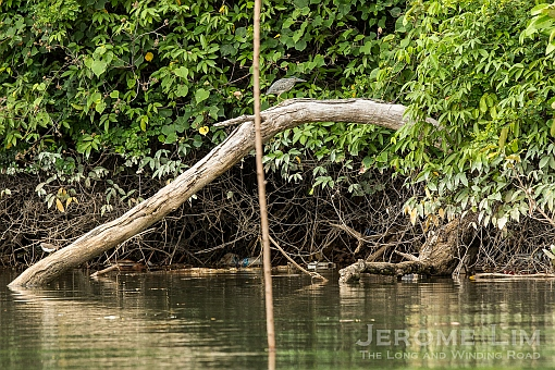 A striated heron perched on a fallen trunk.