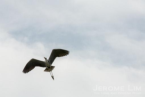 Another grey heron in flight.