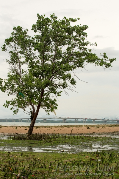 A lone mangrove tree within sight of the Second Link.
