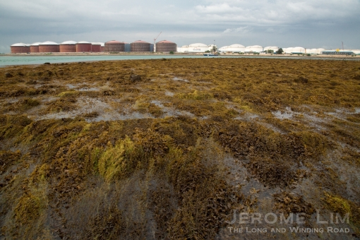 A sea of sargassum. The view across Terumbu Hantu towards Pulau Busing, which is now part of a larger land mass that joins Busing to Pulau Ular and Pulau Bukom Kechil..