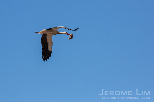A stork in flight.