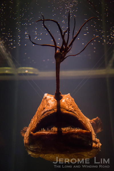 Another anglerfish specimen.