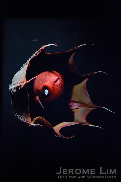 One of which is the shrouded vampire octopus.