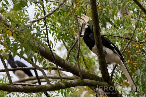 A resident of Ubin, an oriental pied hornbill.