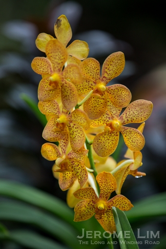 The National Orchid Garden is a riot of colour with some 1000 species of orchids on display.