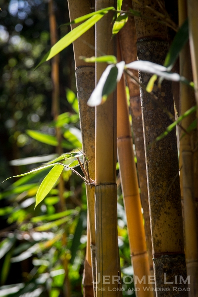 One of the tiniest species of bats, the bamboo bat, can be found roosting in the Gardens.