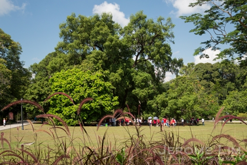 The iconic tembusu tree attracts large crowds.
