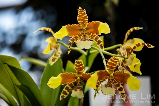 An award winning Rawdon Jester 'Great Bee' at the Orchid Extravaganza at the Flower Dome.