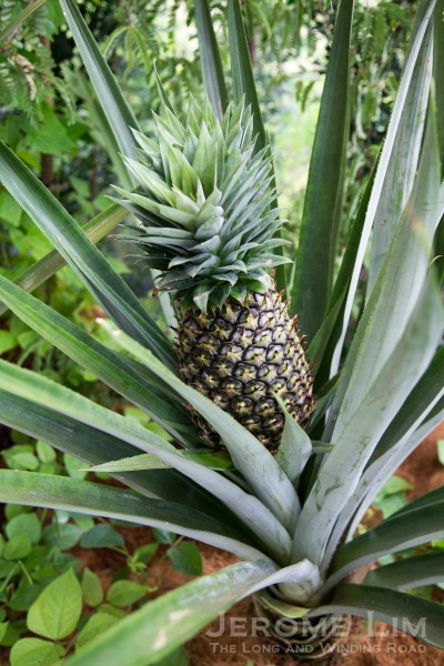 A pineapple plant, one of the many useful plants - kitchen-wise at the Learning Garden.