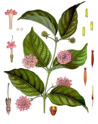 Gambier, an extract from the leaves of the plant is used in dyes and in the tanning of leather and also in the chewing of betel nut. Gambier was planted in Singapore by the Chinese even before the British arrived.
