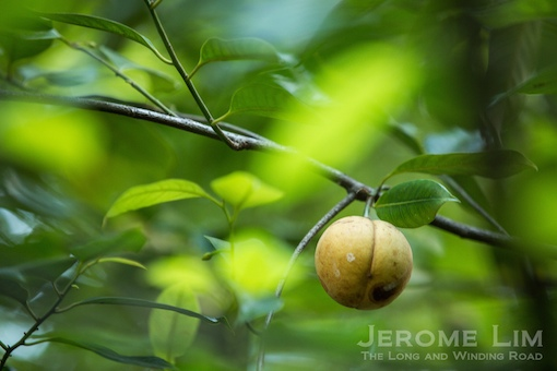 The nutmeg fruit, seen on a tree on Fort Canning Hill.