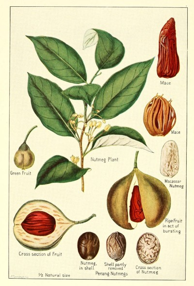Nutmeg, the only plant from which two spices are obtained. Mace from the red aril covering its seed and nutmeg from the seed itself.